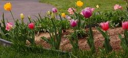 Tulips0010