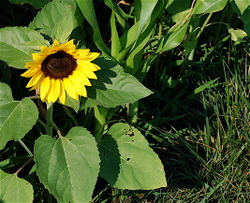 Sunflower_07