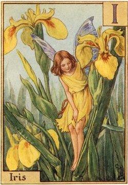 Iris_fairy